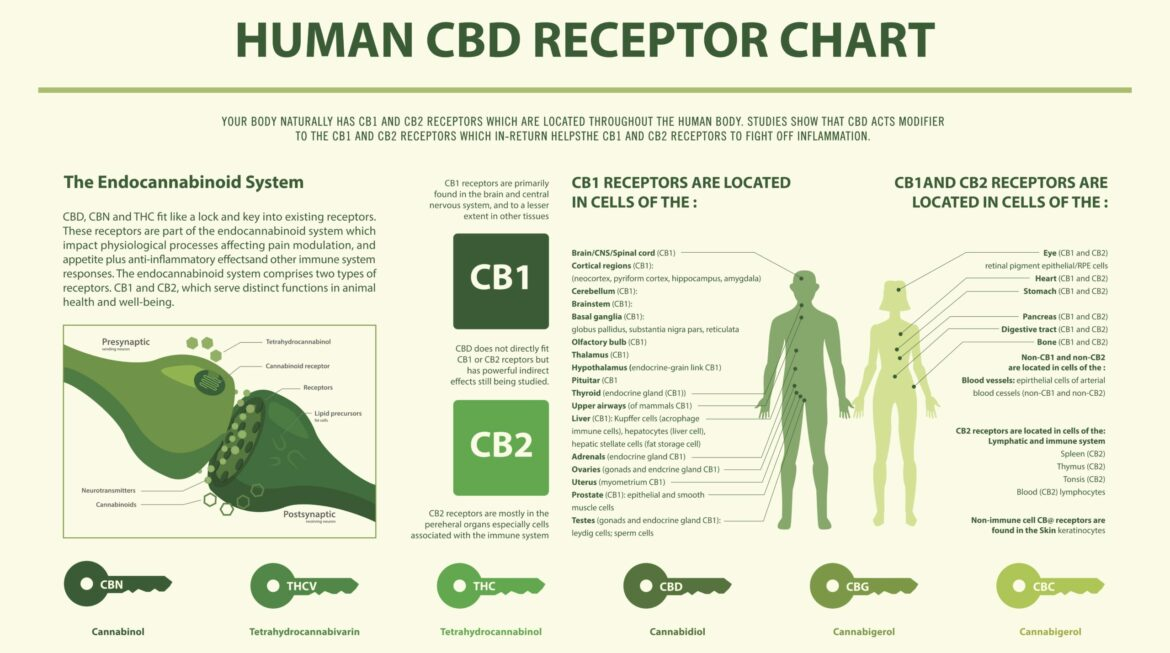 The Endocannabinoid Receptors:                              Health & Diseases