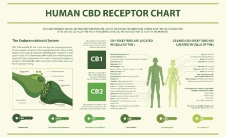 The Endocannabinoid Receptors:                              Health & Diseases